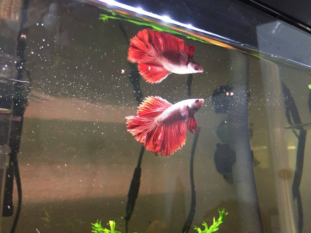 Betta feeding on pellets