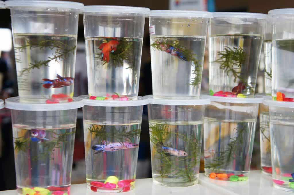 lots of bettas in small plastic cups