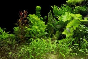 Low Light Aquarium Plants in Fish Tank