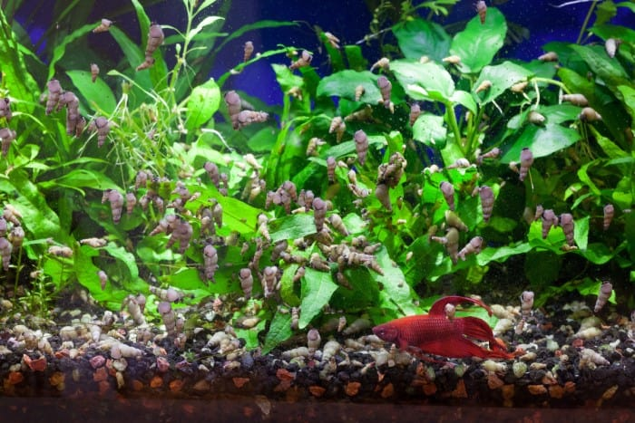 Aquarium snail infestation with red betta