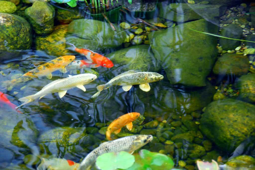 Long lived Koi in pond