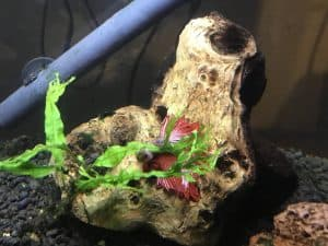 Betta fish laying down against driftwood