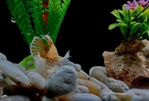 betta fish in an aquarium with plants and pebbles