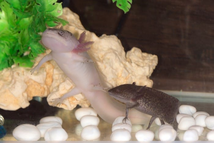 two axolotls together in a fish tank