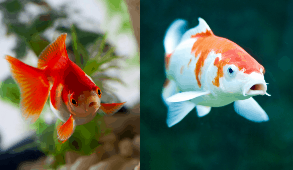 Goldfish next to koi fish comparison