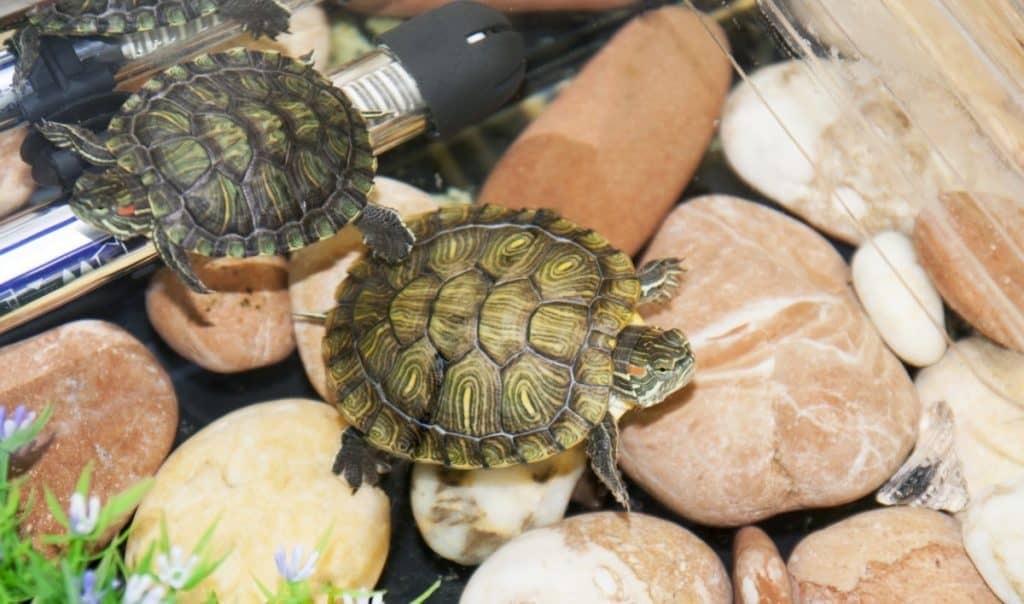 Two turtles in a tank with heater and stones