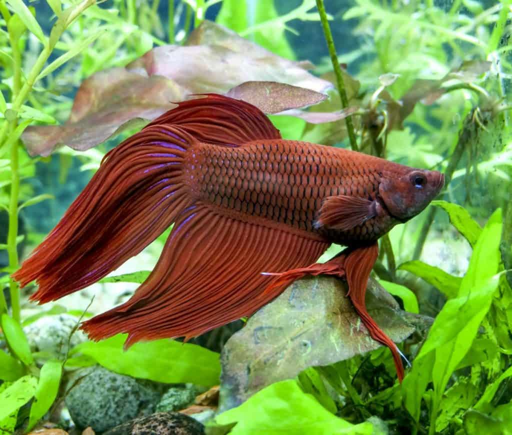 Red Betta with constipation and swim bladder disorder