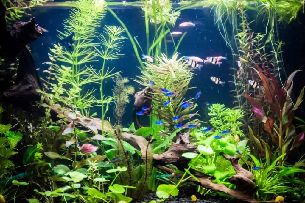 Planted aquarium with fish