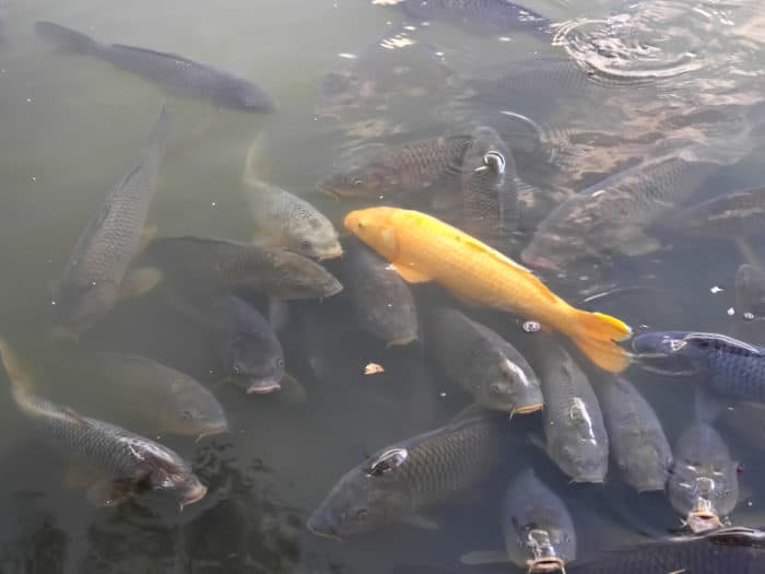 a golden koi fish swimming with many other brown koi