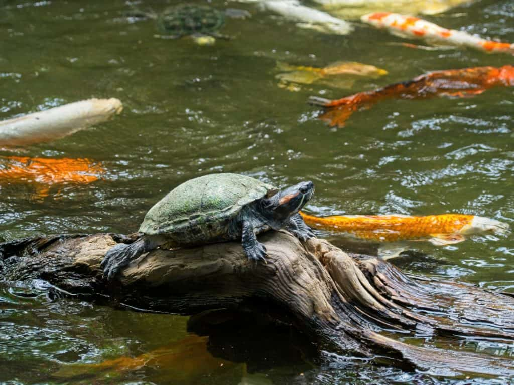 Turtle basking on a log in a koi pond