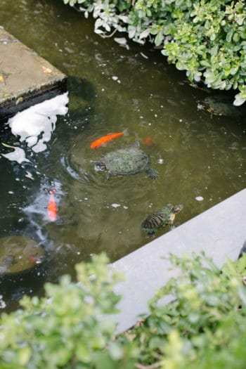 two turtles swimming with koi in a small backyard pond