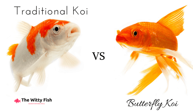 Photo showing a regular koi vs a butterfly koi next to each other
