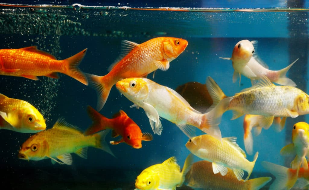Many young colorful koi in a fish tank